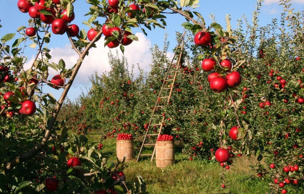 rez ovocných stromov