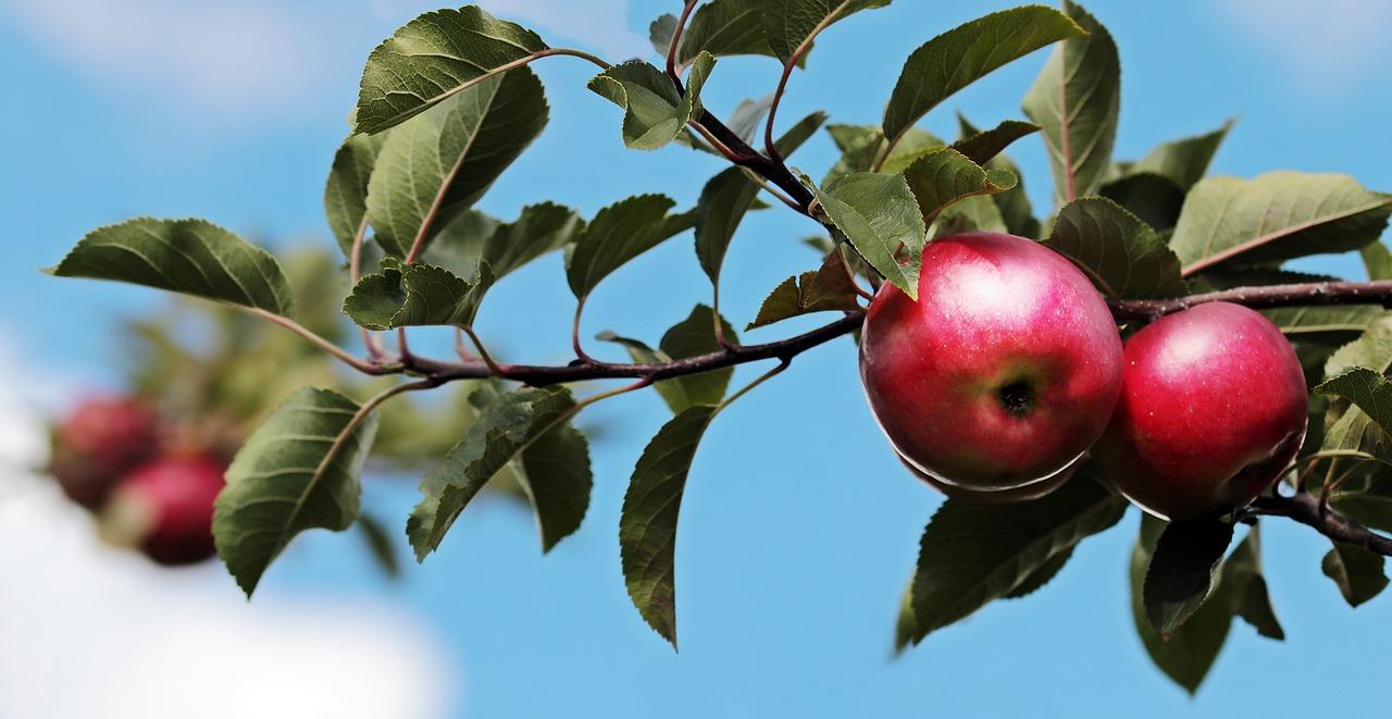 Strihanie a rez ovocných stromov zvládne aj laik. Stačí k tomu mať správne náradie a zvlánuť postup