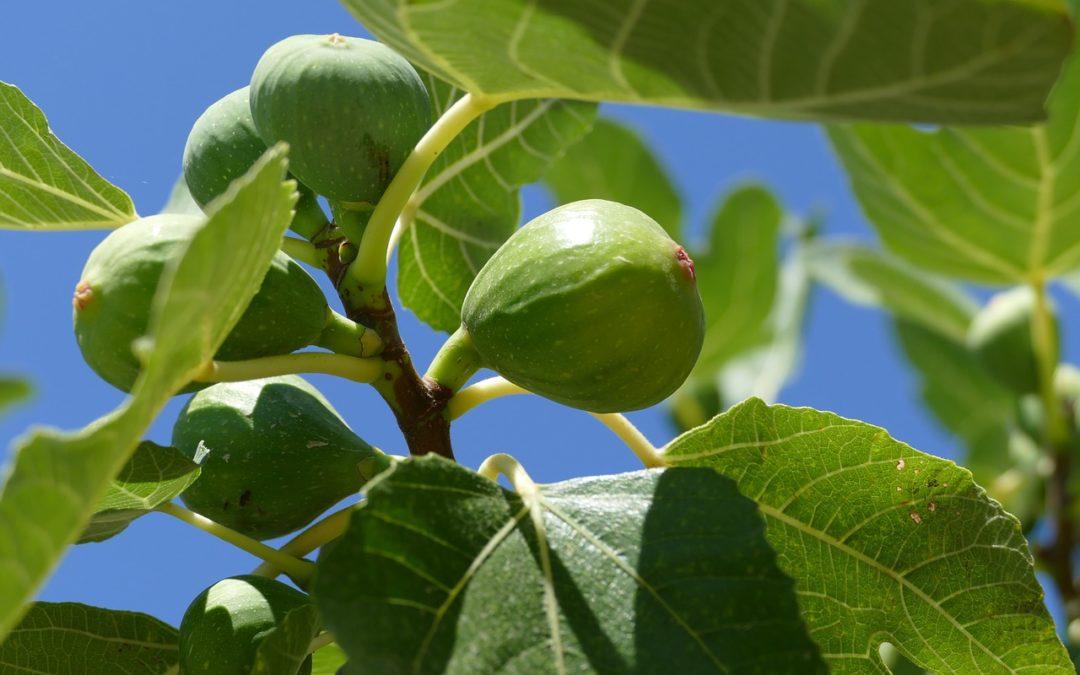 Figy sú sladké a zároveň zdravé. Pestovanie figy zvládnete aj sami doma