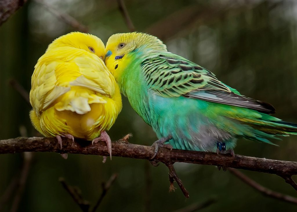 Nenároční papagáji
